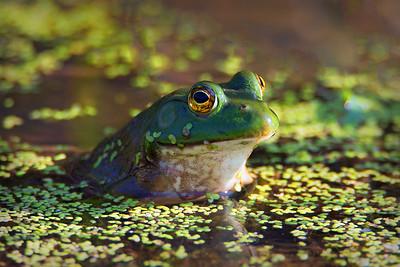 DA054,DN,Bull Frog