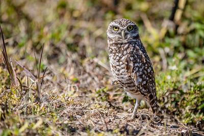 DA077,DN,Burrowing Owl