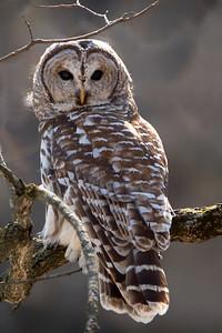 DA054,DN,Barred Owl