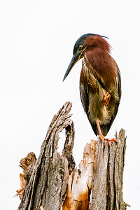1. Poised Green Heron
