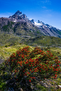 Chilean firebush grows prominently in the region, being one of the first plants to establish itself after a forest fire, which has deeply touched the park