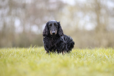 041-Dachshund-Walk-Ben-Unwin-Photography