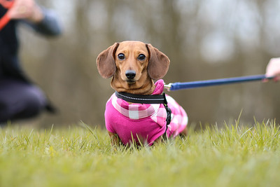 033-Dachshund-Walk-Ben-Unwin-Photography