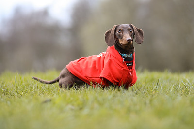 009-Dachshund-Walk-Ben-Unwin-Photography