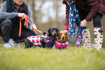 031-Dachshund-Walk-Ben-Unwin-Photography