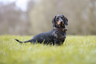 007-Dachshund-Walk-Ben-Unwin-Photography
