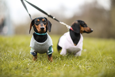 024-Dachshund-Walk-Ben-Unwin-Photography