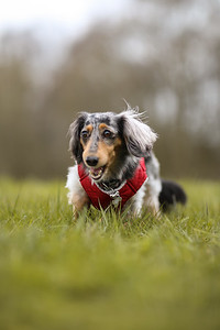 016-Dachshund-Walk-Ben-Unwin-Photography