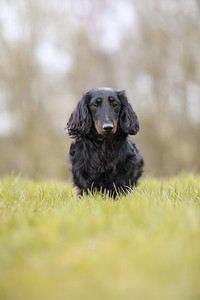 042-Dachshund-Walk-Ben-Unwin-Photography