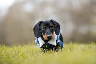 002-Dachshund-Walk-Ben-Unwin-Photography