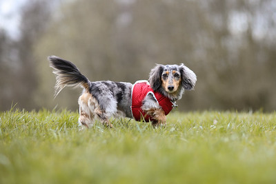 012-Dachshund-Walk-Ben-Unwin-Photography
