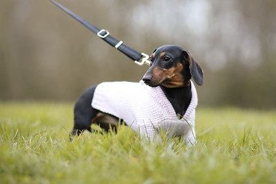 025-Dachshund-Walk-Ben-Unwin-Photography