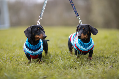 036-Dachshund-Walk-Ben-Unwin-Photography