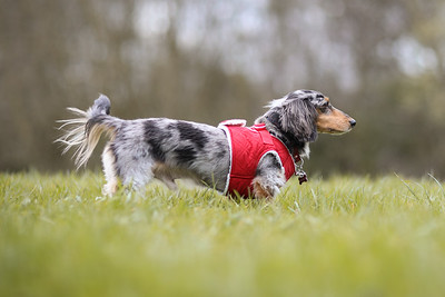 013-Dachshund-Walk-Ben-Unwin-Photography
