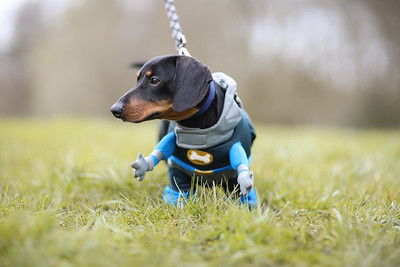 026-Dachshund-Walk-Ben-Unwin-Photography