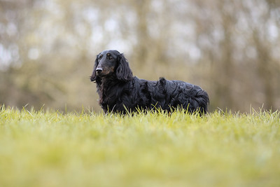 040-Dachshund-Walk-Ben-Unwin-Photography