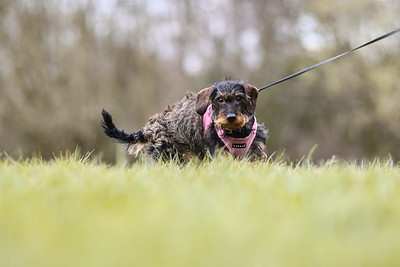 005-Dachshund-Walk-Ben-Unwin-Photography