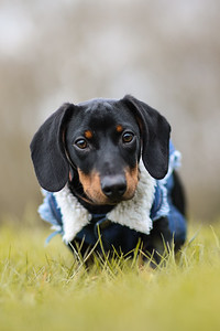 003-Dachshund-Walk-Ben-Unwin-Photography