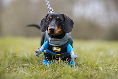 027-Dachshund-Walk-Ben-Unwin-Photography