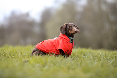 008-Dachshund-Walk-Ben-Unwin-Photography