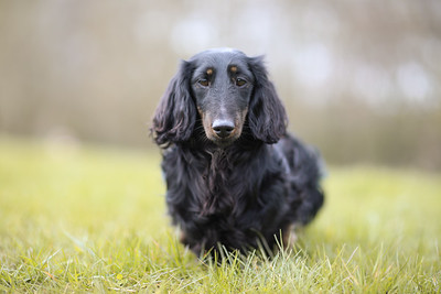 043-Dachshund-Walk-Ben-Unwin-Photography