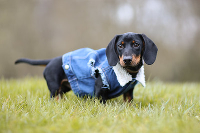 001-Dachshund-Walk-Ben-Unwin-Photography