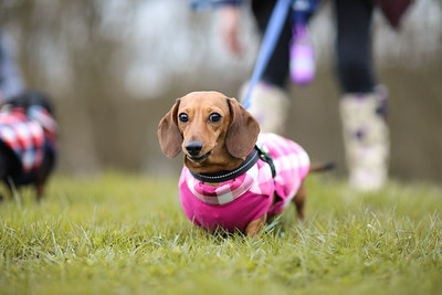 034-Dachshund-Walk-Ben-Unwin-Photography