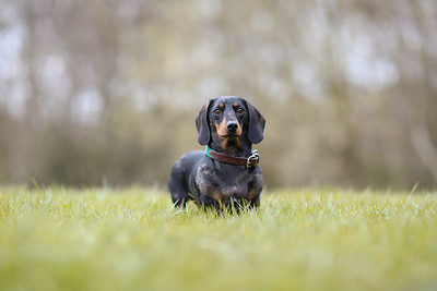 006-Dachshund-Walk-Ben-Unwin-Photography