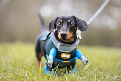 028-Dachshund-Walk-Ben-Unwin-Photography