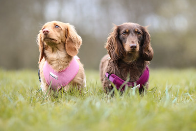 010-Dachshund-Walk-Ben-Unwin-Photography