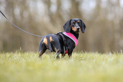 038-Dachshund-Walk-Ben-Unwin-Photography