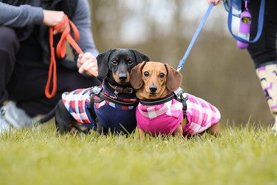032-Dachshund-Walk-Ben-Unwin-Photography