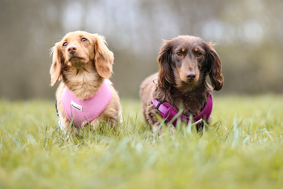 011-Dachshund-Walk-Ben-Unwin-Photography