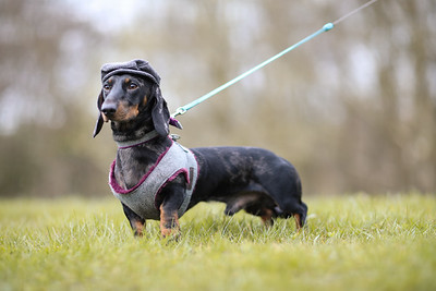 044-Dachshund-Walk-Ben-Unwin-Photography