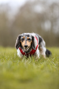 015-Dachshund-Walk-Ben-Unwin-Photography
