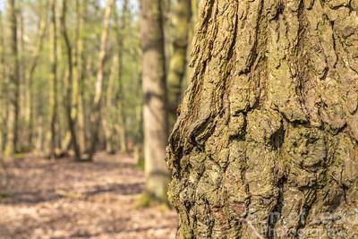 Trees in Rendlesham Forest - Suffolk
