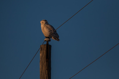 A Snowy Owl in Tippecanoe County, Indiana