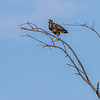 A rough legged hawk flies near Battleground, Indiana