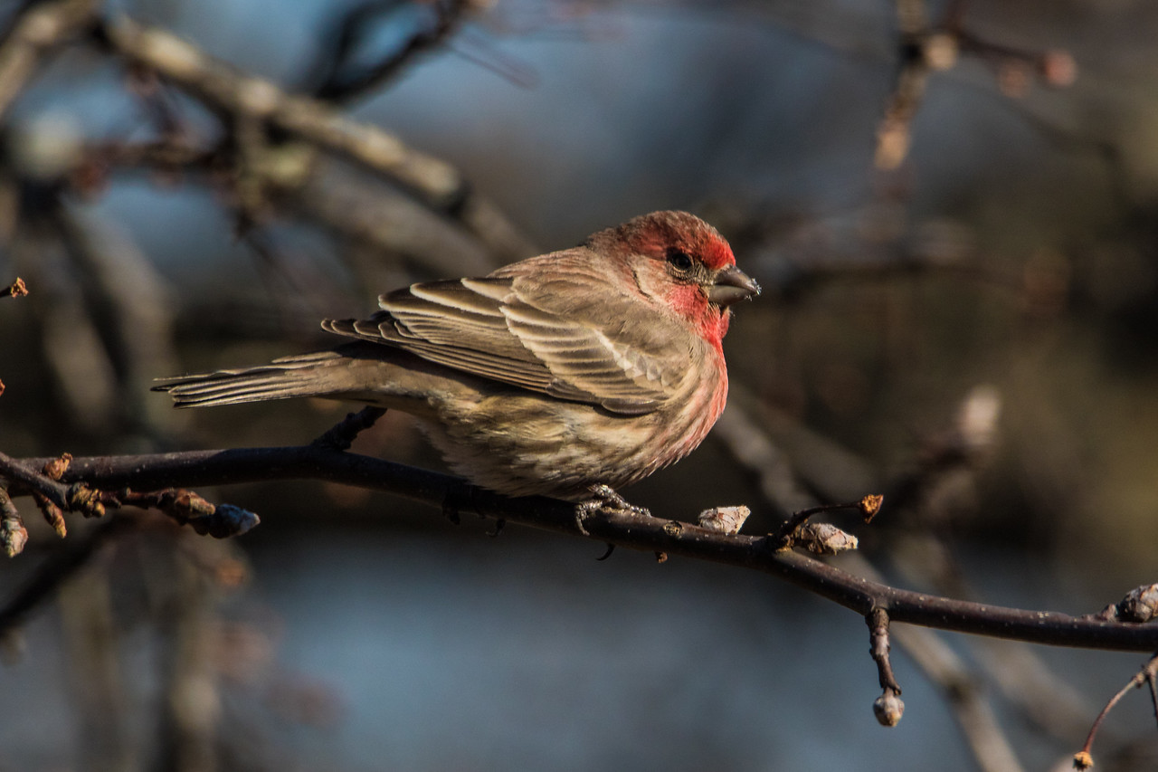 A male house finch in West Lafayette, Indiana