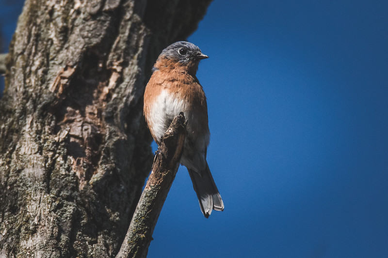 An Eastern Bluebird at the Celery Bog in West Lafayette, Indiana near the campus of PUrdue University.
