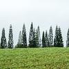 Line of trees near Hilo, Hawaii