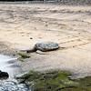 Green Turtle, Kaloko-Honokohau NHP, Hawaii
