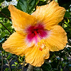Hibiscus in front of the Bears Lair Guesthouse, Hawaii