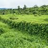 Glycine vine on the way to 'Ulupalakua, Hawaii