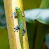 Gecko, Akaka Falls State Park, Hawaii