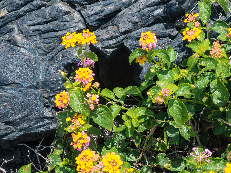 Lantana, Chain of Craters Road, Hawaii Volcanoes NP, Hawaii