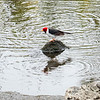 Crested Cardinal, Pu'uhonua O Honaunau NHP, Hawaii