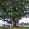 Banyon Tree, Kalakaua Park, Hilo, Hawaii