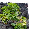 Shiny leaf Noni (Morinda citrifolia), Pu'uhonua O Honaunau NHP, Hawaii