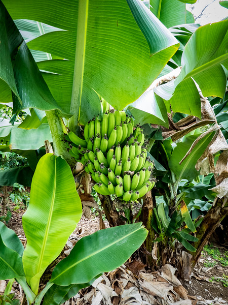 Banana tree, Kona, Hawaii